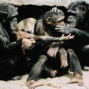 chimp_group