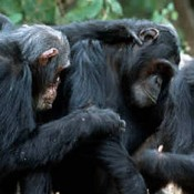 grooming-chimps