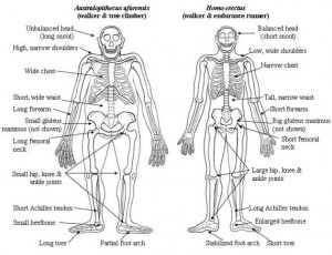 Australopithecus-Erectus
